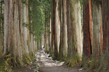 杉の大木の画像001