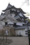 彦根城と満開の桜の画像002