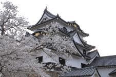 彦根城と満開の桜の画像004