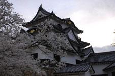 彦根城と満開の桜の画像005