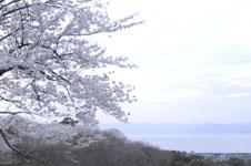 彦根城から見た琵琶湖と満開の桜