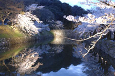 彦根城のお堀と満開の夜桜の画像001