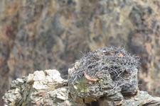 イエローストーン国立公園のミサゴの画像001