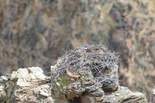 イエローストーン国立公園のミサゴの画像002