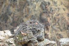 イエローストーン国立公園のミサゴの画像004