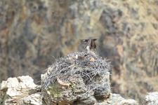 イエローストーン国立公園のミサゴの画像005