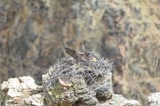 イエローストーン国立公園のミサゴの画像007