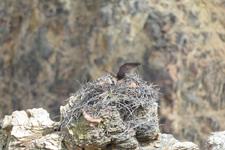 イエローストーン国立公園のミサゴの画像008