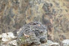 イエローストーン国立公園のミサゴの画像009