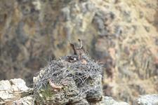 イエローストーン国立公園のミサゴの画像012
