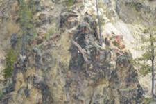 イエローストーン国立公園のミサゴの画像013