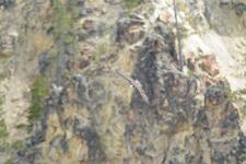 イエローストーン国立公園のミサゴの画像014