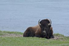 イエローストーン国立公園のアメリカバイソンの画像044