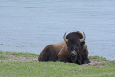 イエローストーン国立公園のアメリカバイソンの画像045