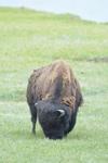 イエローストーン国立公園のアメリカバイソンの画像046