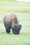 イエローストーン国立公園のアメリカバイソンの画像048