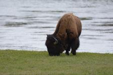 イエローストーン国立公園のアメリカバイソンの画像051