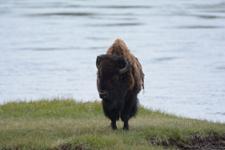 イエローストーン国立公園のアメリカバイソンの画像052