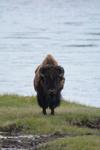 イエローストーン国立公園のアメリカバイソンの画像053