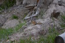 イエローストーン国立公園のシマリス