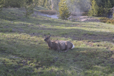 イエローストーン国立公園のエルクの画像021
