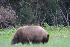グランド・ティトン国立公園のブラックベアーの画像004