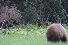 グランド・ティトン国立公園のブラックベアーの画像005