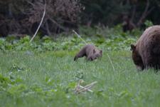 グランド・ティトン国立公園のブラックベアーの画像010