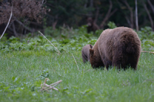 グランド・ティトン国立公園のブラックベアーの画像011