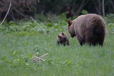 グランド・ティトン国立公園のブラックベアーの画像012