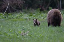 グランド・ティトン国立公園のブラックベアーの画像014