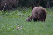 グランド・ティトン国立公園のブラックベアーの画像016