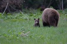 グランド・ティトン国立公園のブラックベアーの画像017