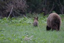 グランド・ティトン国立公園のブラックベアーの画像018