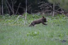 グランド・ティトン国立公園のブラックベアーの画像020