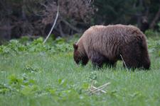 グランド・ティトン国立公園のブラックベアーの画像026