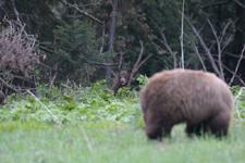 グランド・ティトン国立公園のブラックベアーの画像033