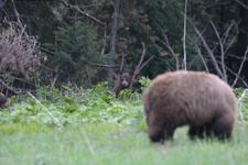 グランド・ティトン国立公園のブラックベアーの画像034