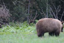 グランド・ティトン国立公園のブラックベアーの画像035