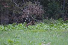 グランド・ティトン国立公園のブラックベアーの画像037