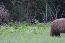 グランド・ティトン国立公園のブラックベアーの画像038