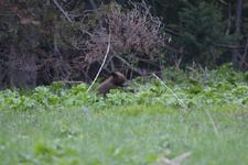グランド・ティトン国立公園のブラックベアーの画像042