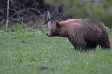 グランド・ティトン国立公園のブラックベアーの画像043