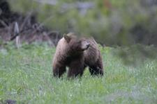 グランド・ティトン国立公園のブラックベアーの画像045