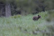 グランド・ティトン国立公園のブラックベアーの画像047