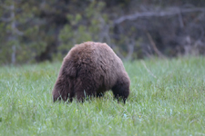 グランド・ティトン国立公園のブラックベアーの画像048