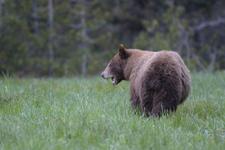 グランド・ティトン国立公園のブラックベアーの画像049