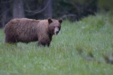 グランド・ティトン国立公園のブラックベアーの画像054