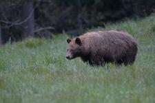グランド・ティトン国立公園のブラックベアーの画像055