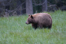 グランド・ティトン国立公園のブラックベアーの画像060